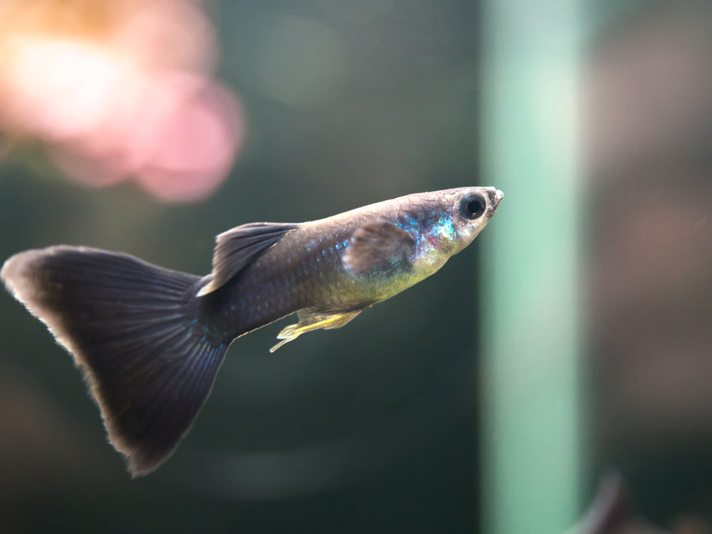 "Black Moscow Guppy (Poecilia reticulata var. ""Black Moscow""), Males and Females, Tank-Bred!"