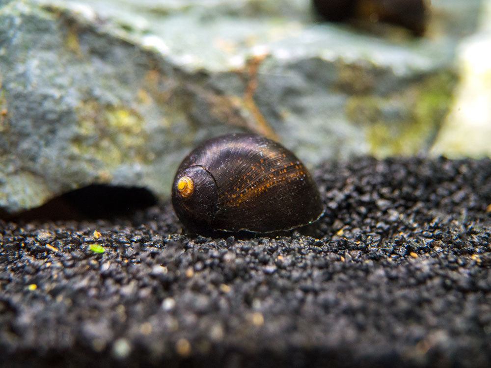 Midnight Black Nerite Snail (Neritina sp.)