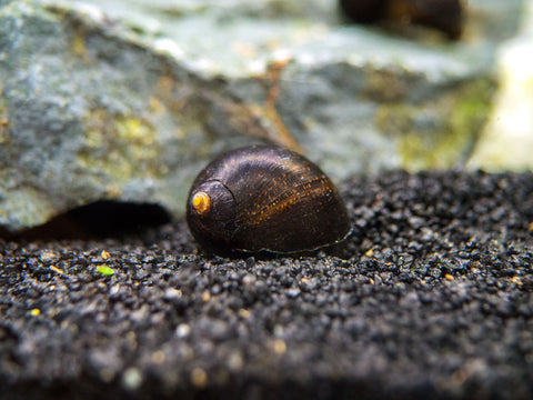 "Bright Red Ramshorn Snails (1/4"" to 1"")"