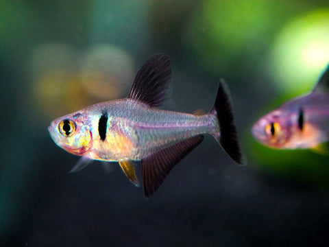 Pacific Signifier Blue Eye Rainbowfish (Pseudomugil signifer) - Tank-Raised!