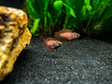 "Black Tiger Badis (Dario sp. ""Myanmar"")"
