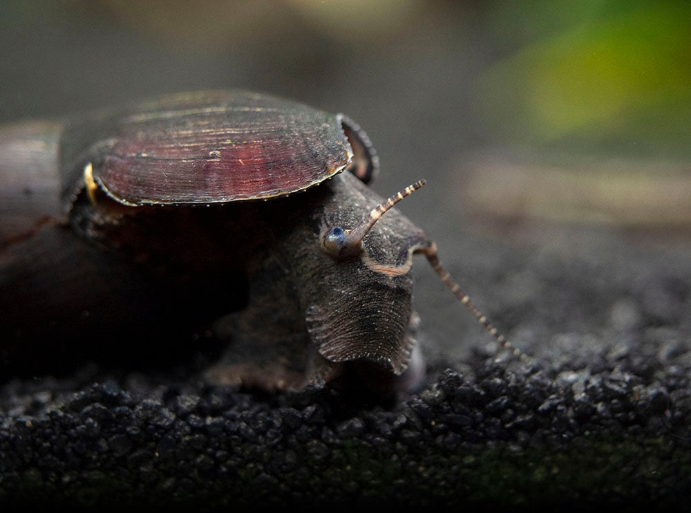 Black Devil Spike Snail (Faunus ater)