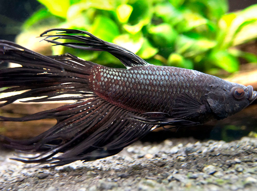 Assorted Black Orchid Crowntail Betta (Betta splendens) - Tank-Bred!
