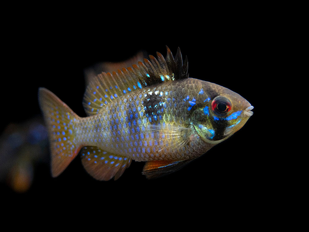 "German Black Ram Dwarf Cichlid (Mikrogeophagus ramirezi ""German Black"") - USA Bred!"