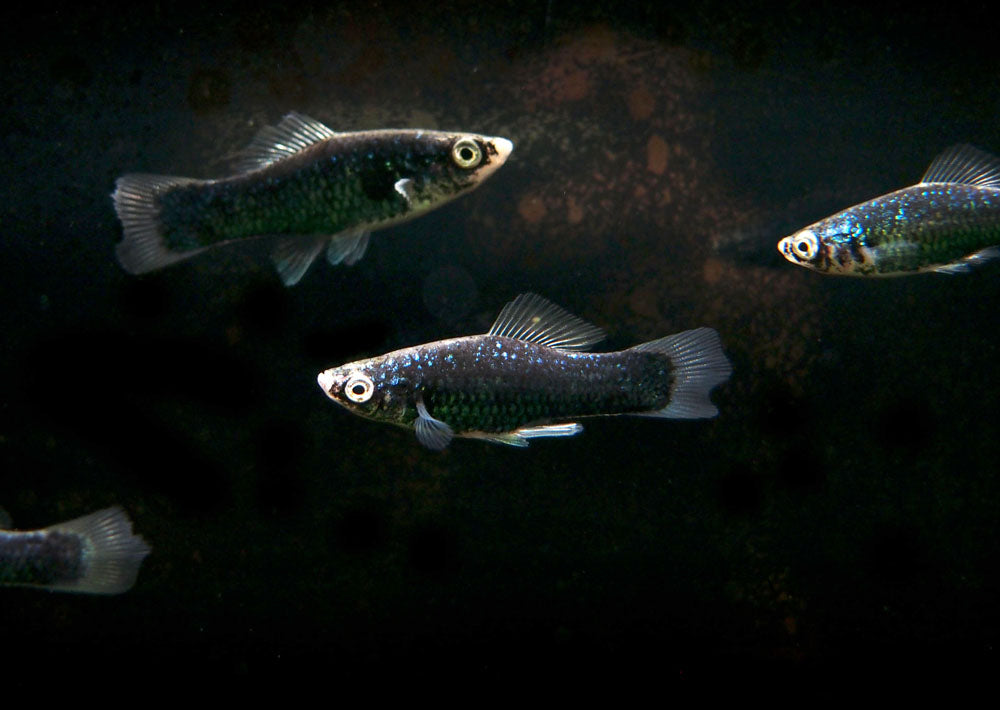 Black Swordtail (Xiphophorus helleri hybrid), Males and Females, Tank-Bred!