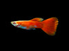 Full Red Albino Guppy, (Poecilia reticulata), Males and Females - Tank-Bred!
