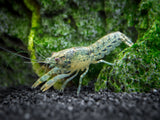 Blue Brazos Dwarf Mexican Crayfish/Mini Lobster (Cambarellus texanus