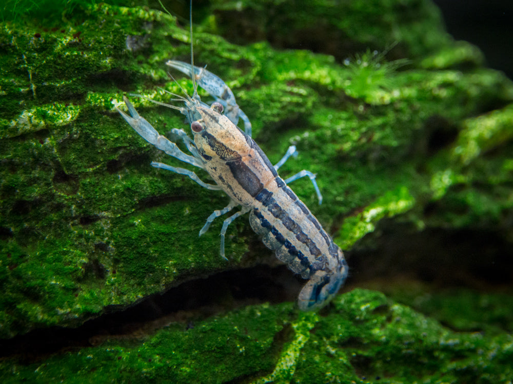 "Blue Brazos Dwarf Mexican Crayfish/Mini Lobster (Cambarellus texanus ""Blue""), Tank-Bred!"