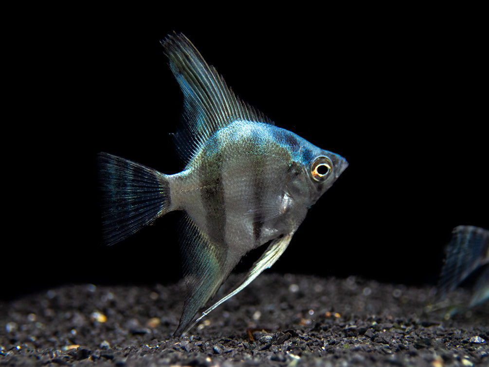 Blue Diamond Angelfish (Pterophyllum scalare) - Tank-Bred!