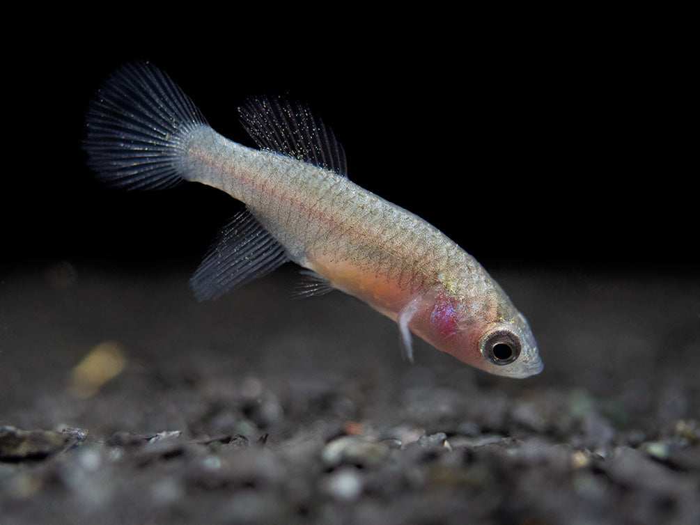 Blue Egger's Killifish (Nothobranchius eggersi), Tank-Bred!