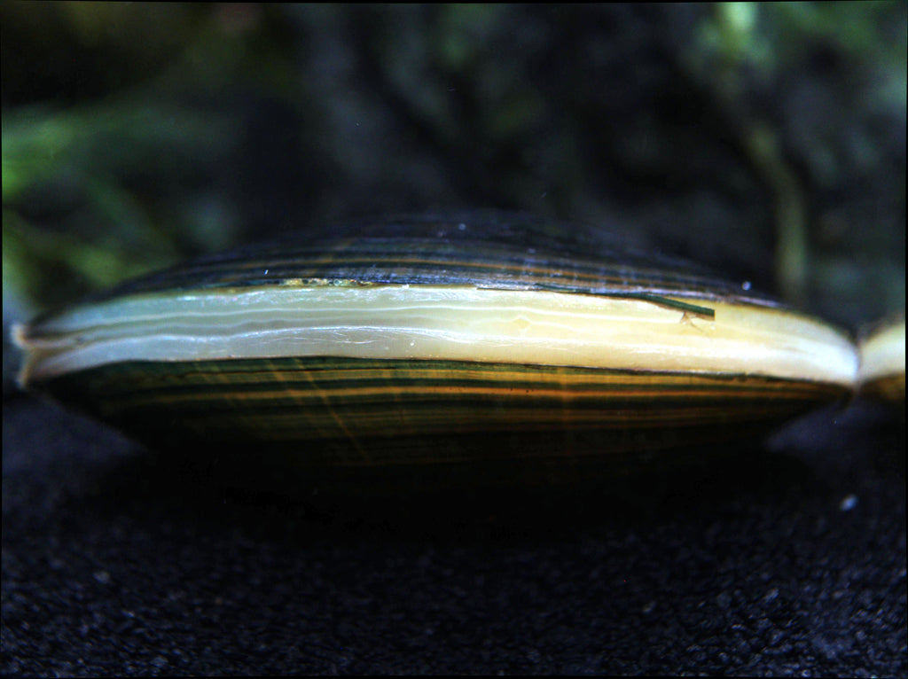 Blue-Green Asian Mussel (Sinanodonta woodiana)