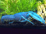 Electric Blue Crayfish (Procambarus alleni)- Tank-Bred!