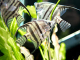 Blue Pinoy Zebra Angelfish (Pterophyllum scalare var.