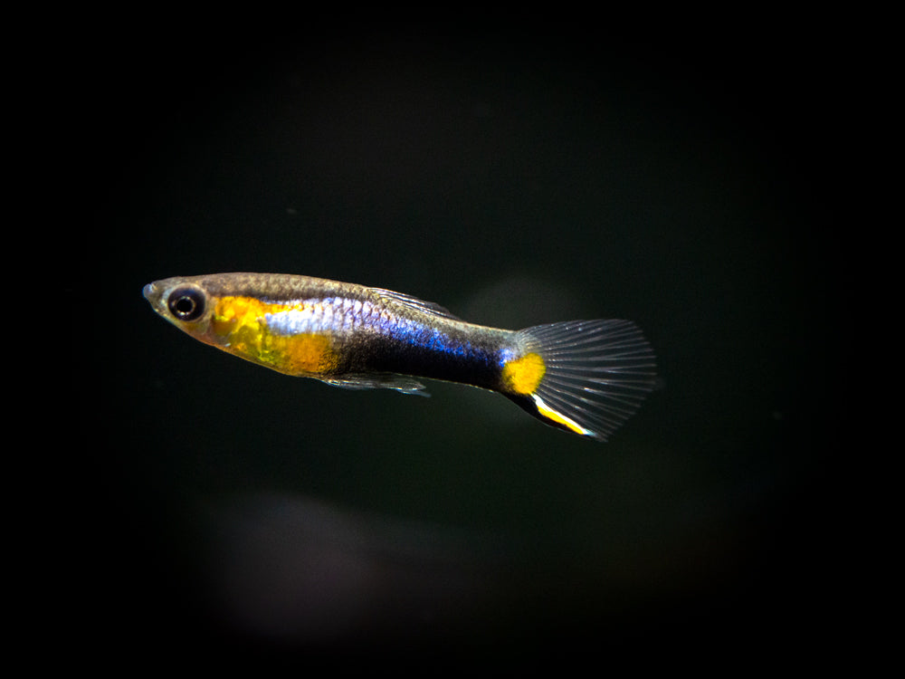 "French Blue Star Endler's Livebearer, Male (Poecilia wingei ""Blue Star"") - Tank-Bred!"