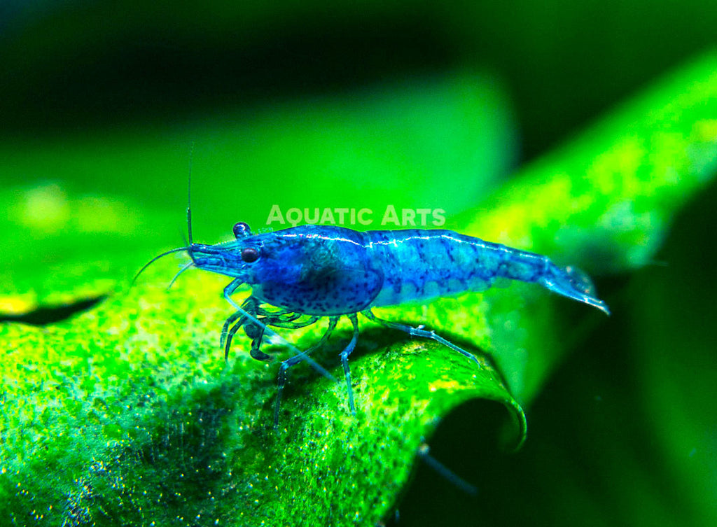 "Dream Blue Velvet Shrimp (Neocaridina davidi) - 1/4"" to 3/4"""
