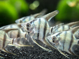 Blue Zebra Angelfish (Pterophyllum scalare var.
