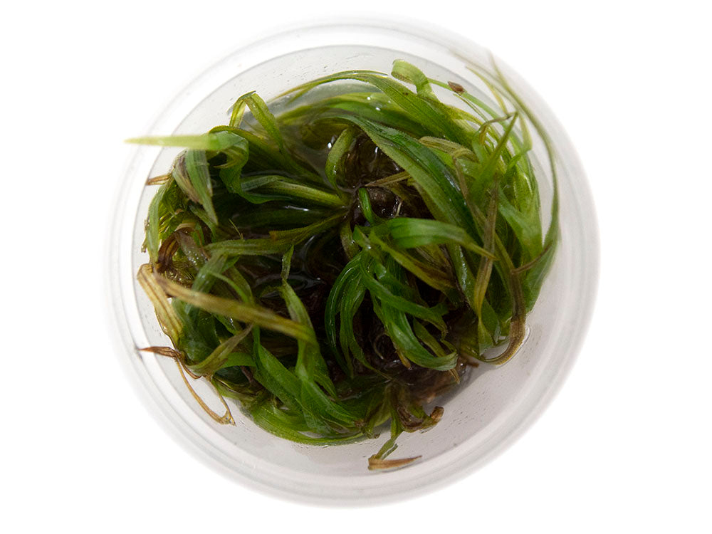 Bamboo Plant (Blyxa japonica) Tissue Culture