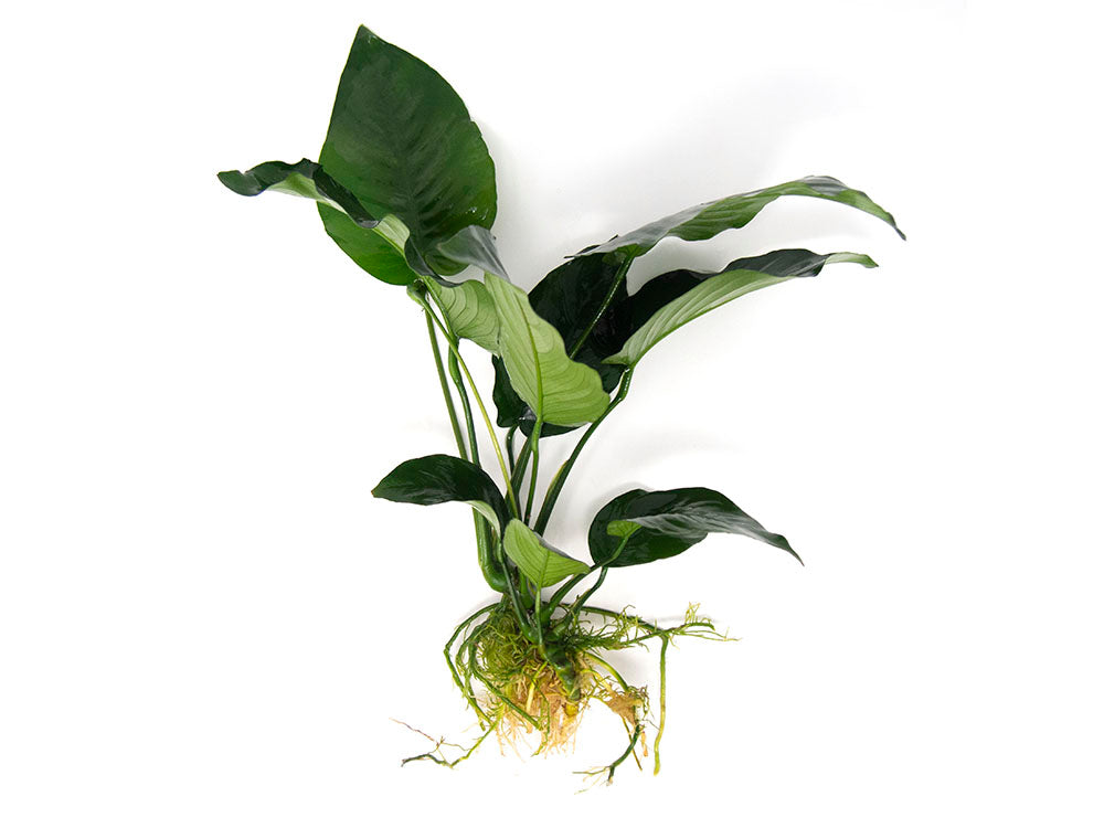 "Anubias barteri ""Broad Leaf,"" Bare Root, GIANT Size!"