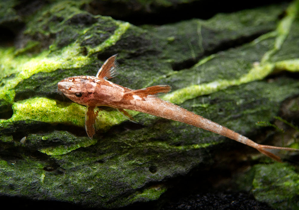 Chocolate Lizard Whiptail Catfish (Rineloricaria sp.) - Tank-Bred!