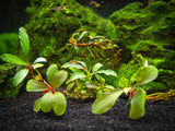 Assorted Buce Plant (Bucephalandra sp.)