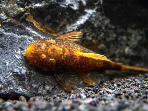 "Super Red Bristlenose Pleco (Ancistrus sp. ""Super Red""), TANK-BRED!"