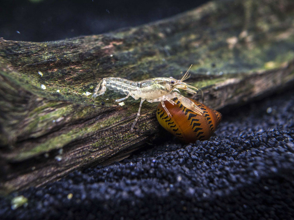 Wild Color Dwarf Mexican Crayfish (Cambarellus patzcuarensis) - Tank-Raised!