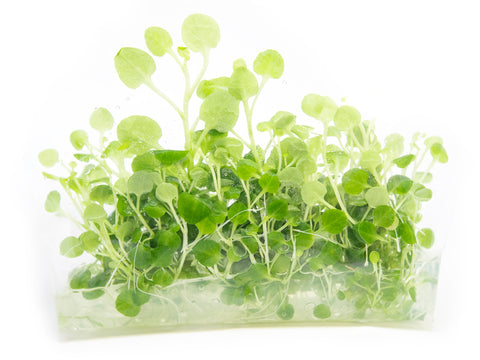 Moneywort (Bacopa monnieri) - 2 Bunches