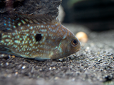 Pearlscale AKA Lowland Cichlid (Herichthys carpintis), Tank-Bred!