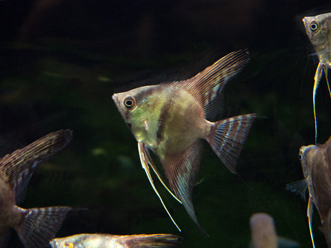 Hummingbird AKA Hovering AKA Gold Shadow Catfish (Rama chandramara)