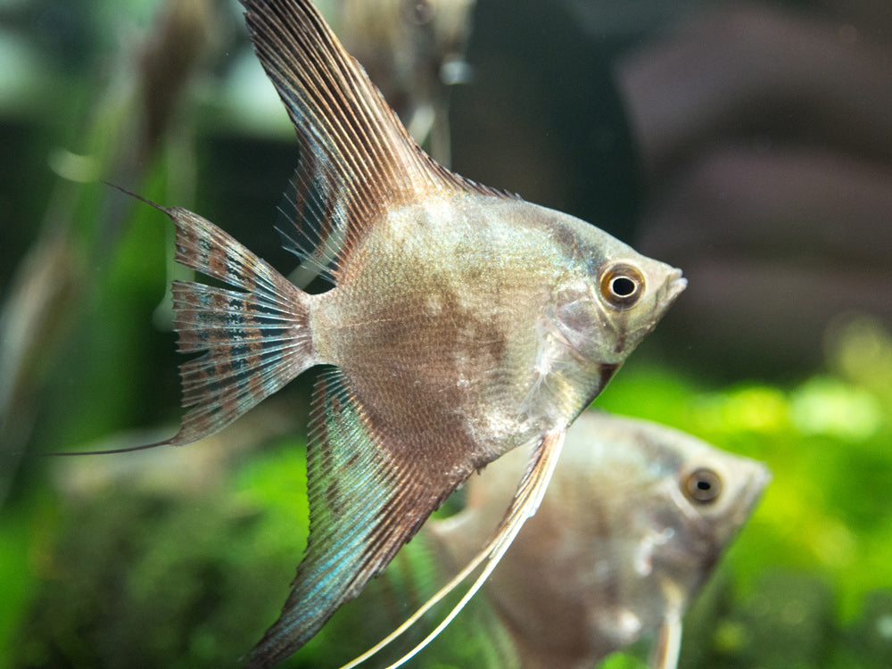 "Blue Chocolate Smokey Angelfish (Pterophyllum scalare  ""Blue Chocolate Smokey"") - Tank-Bred!!!"