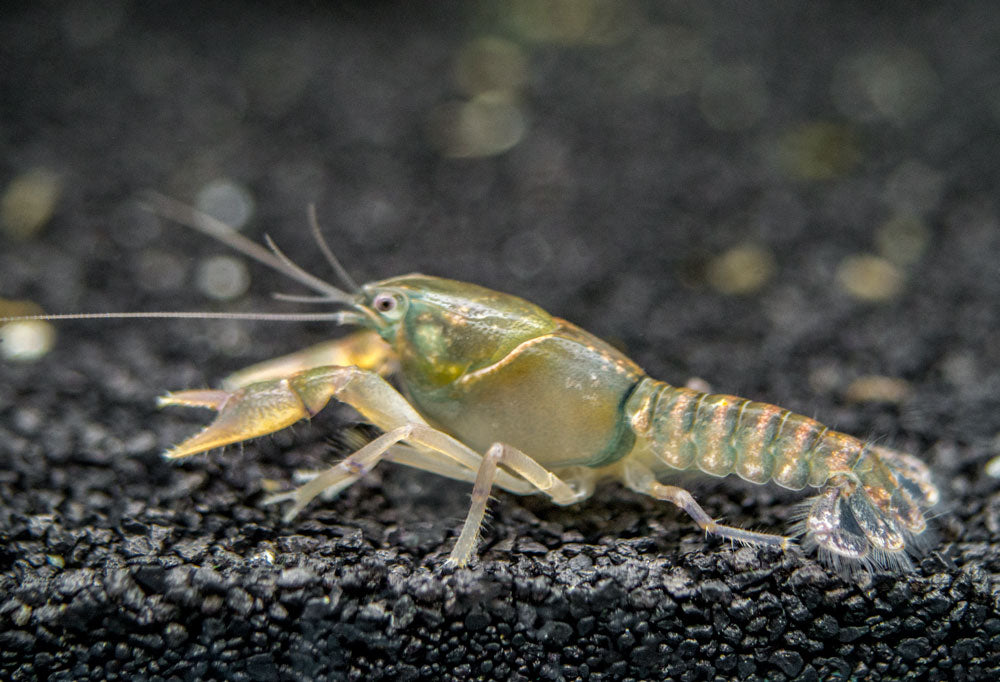 Christmas Tree Crayfish (Procambarus pygmaeus), TANK-RAISED!!!