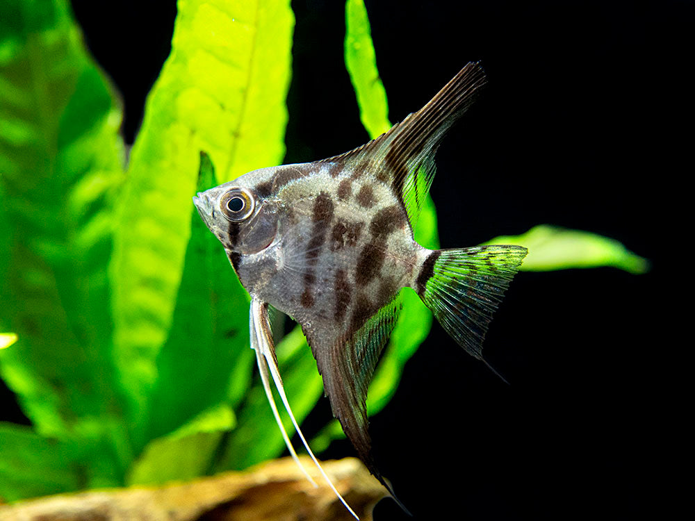 "Clown Angelfish (Pterophyllum scalare ""Clown""), TANK-BRED!!!"