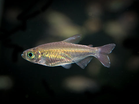 "Yellow Tiger Endler's Livebearer (Poecilia wingei var. ""Yellow Tiger""), Males and Females, TANK-BRED!!!"