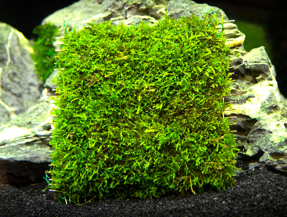 Coral Moss Aka Mini Pellia Aquatic Arts