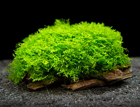 EASY Aquarium Plant Package (5-10 Gallon) - Java Moss, Marimo Moss Balls, Moneywort, Anubias Sp., and Java Fern