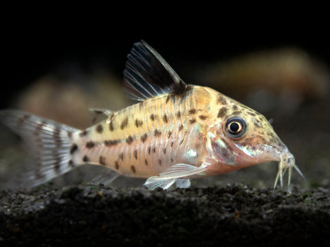 Schultze's AKA Gold Flash Cory Catfish (Corydoras schultzei), LOCALLY BRED!!!