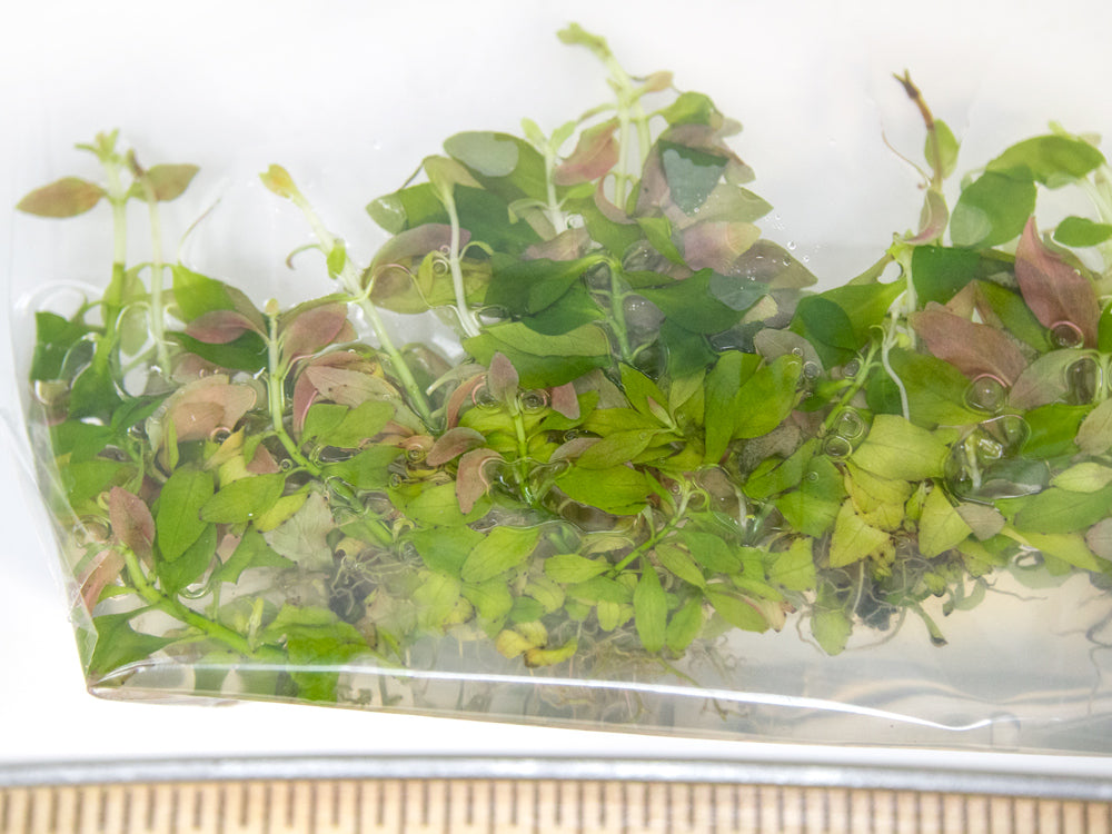 Creeping Primrose-Willow (Ludwigia repens) Tissue Culture