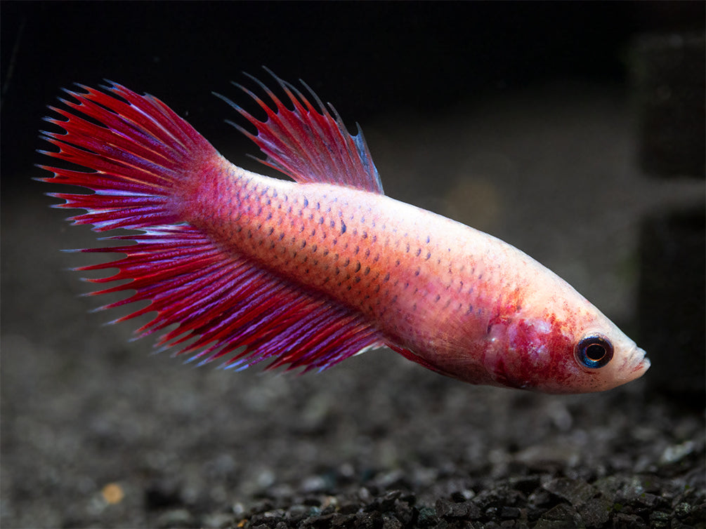 Assorted DELUXE Crowntail Betta (Betta splendens) - Tank-Bred!
