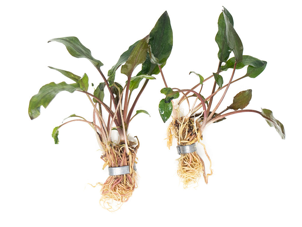 Red Cryptocoryne wendtii, bare root
