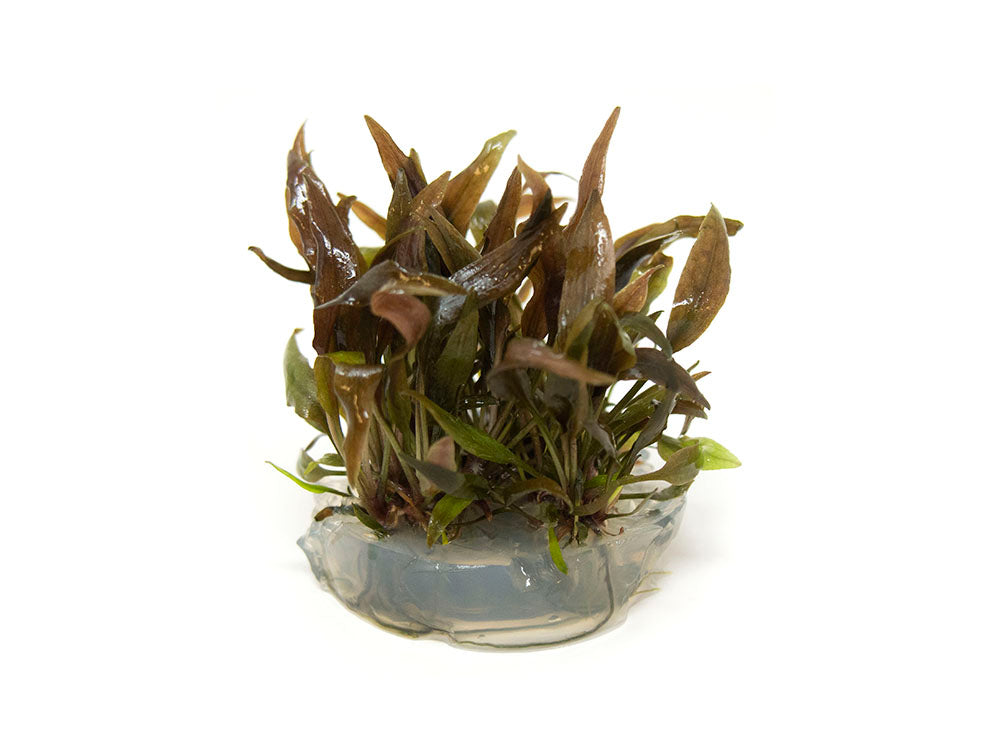 "Red Undulated Crypt (Cryptocoryne undulatus ""Red"") Tissue Culture"