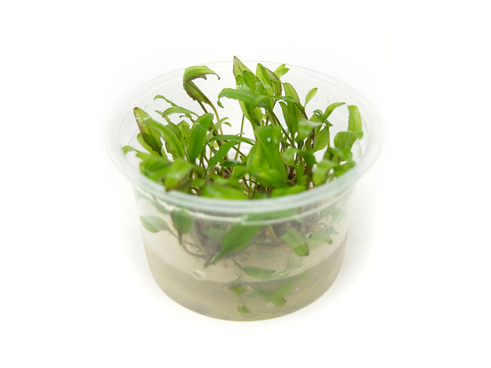 Green Cryptocoryne wendtii Tissue Culture