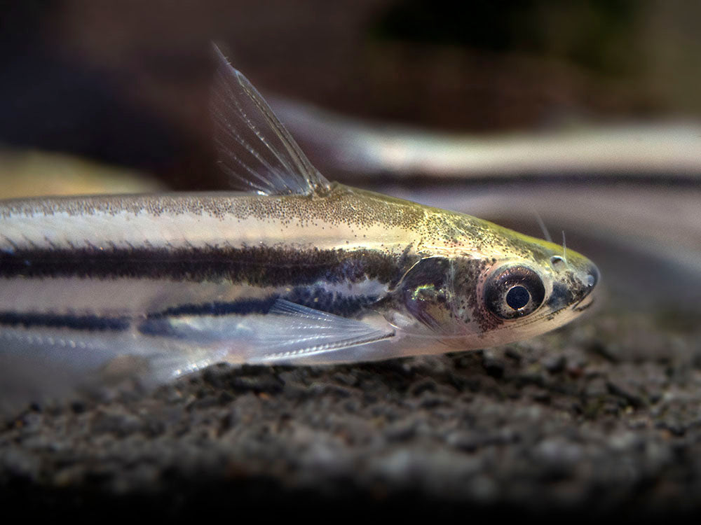 Debauwi AKA Three-Stripe African Glass Catfish (Pareutropius buffei)