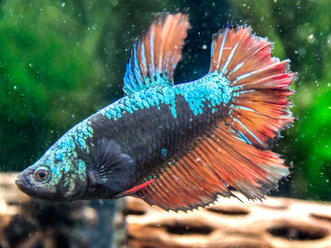 Assorted Lavender Plakat Betta (Betta splendens), Male - Tank-Bred!