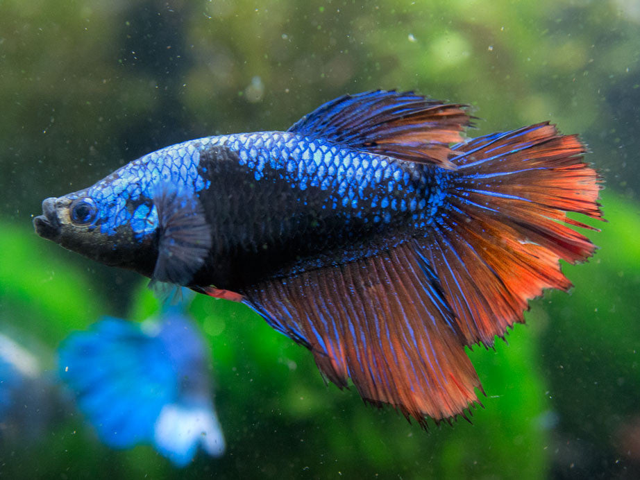 Deluxe Female Bettas (1 to 2 inches) - Hand-picked from an assortment of colors!