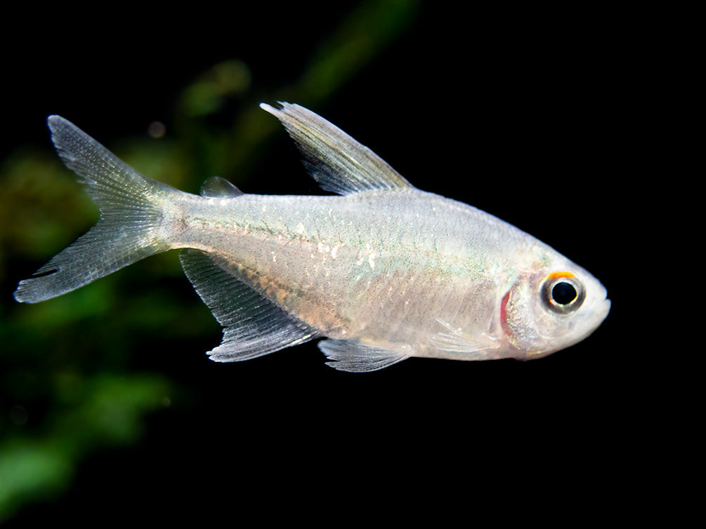 Diamond Tetra (Moenkhausia pittieri) - Tank-Bred!
