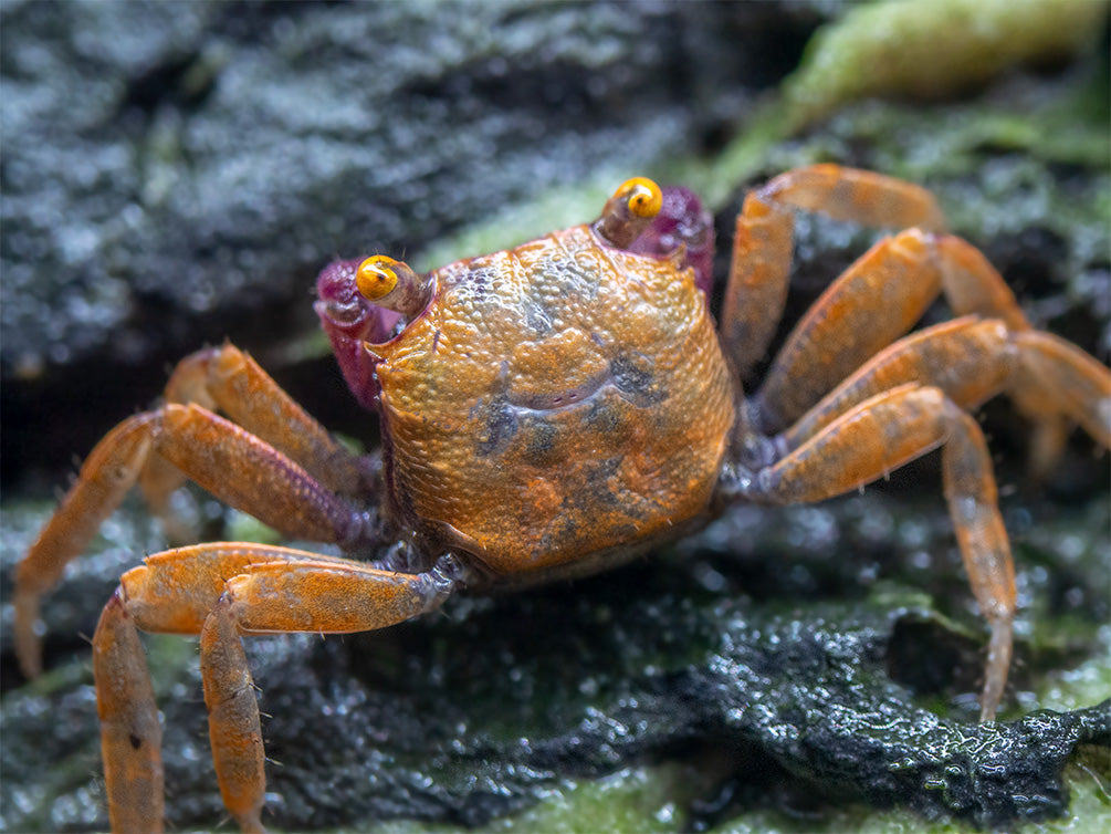 Orange Disco Vampire Crab (Geosesarma tiomanicum)