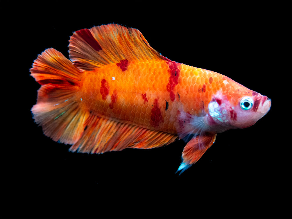 Assorted Koi Nemo Double Tail Betta (Betta splendens) - Tank-Bred!