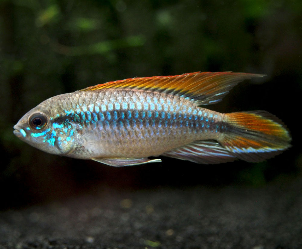 "Double Red Agassizi's Dwarf Cichlid (Apistogramma cf. agassizii ""Double Red"") - TANK-BRED!!!"