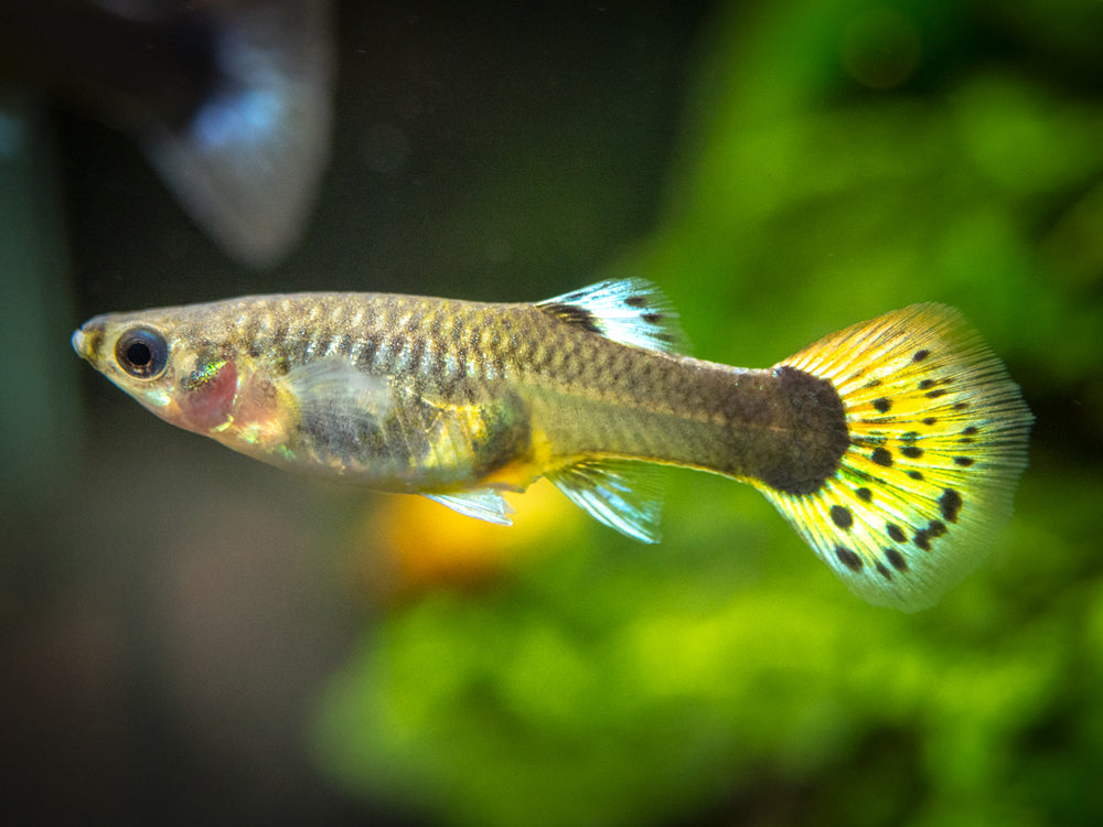 "Dragon Mosaic Guppy (Poecilia reticulata ""Dragon Mosaic""), Males and Females, Tank-Bred!"