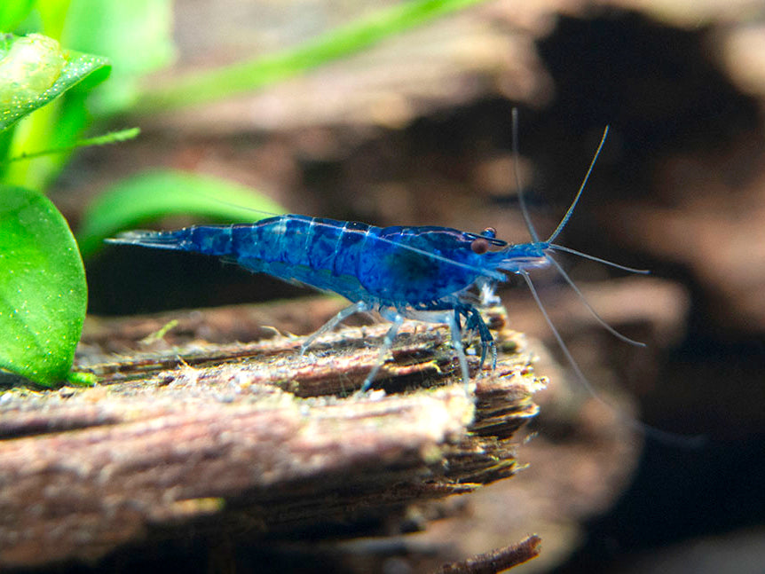 Dream Blue Velvet Shrimp (Neocaridina davidi), Tank-Bred!